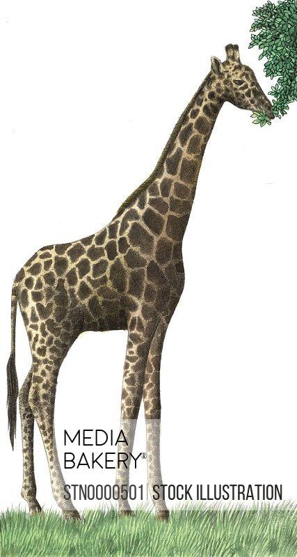 Illustration of giraffe