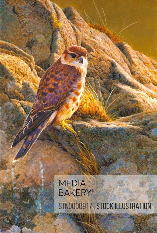 Merlin (Falco columbarius) on rock