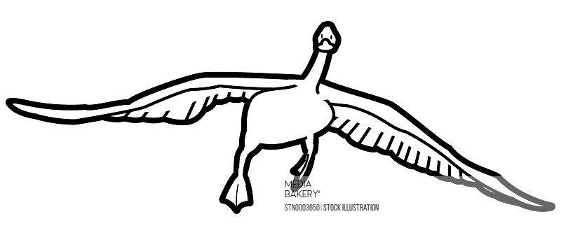 Flying mallard duck on white background