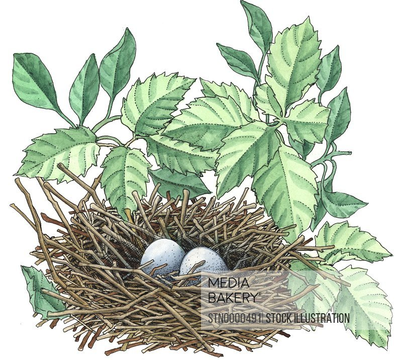 Illustration of eggs in nest