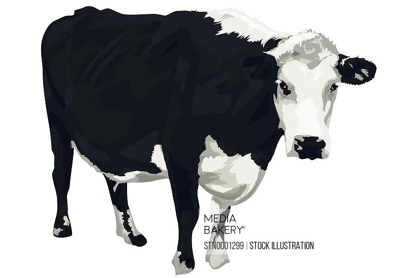 Black and white cow looking at camera