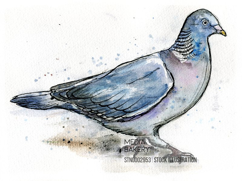 Close-up view of pigeon