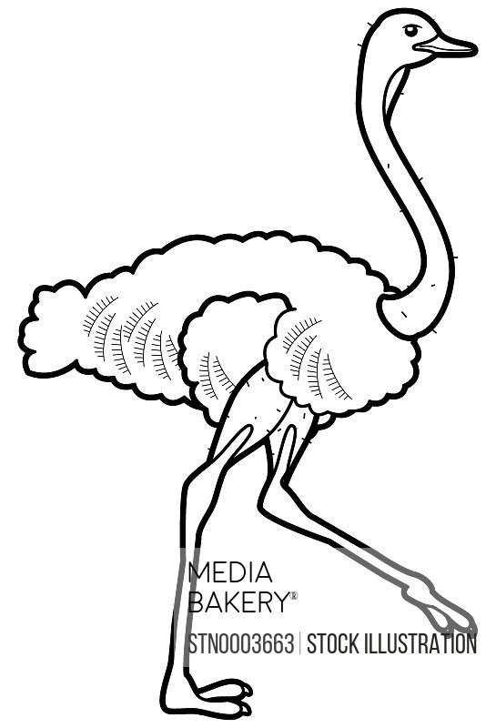 Ostrich on white background