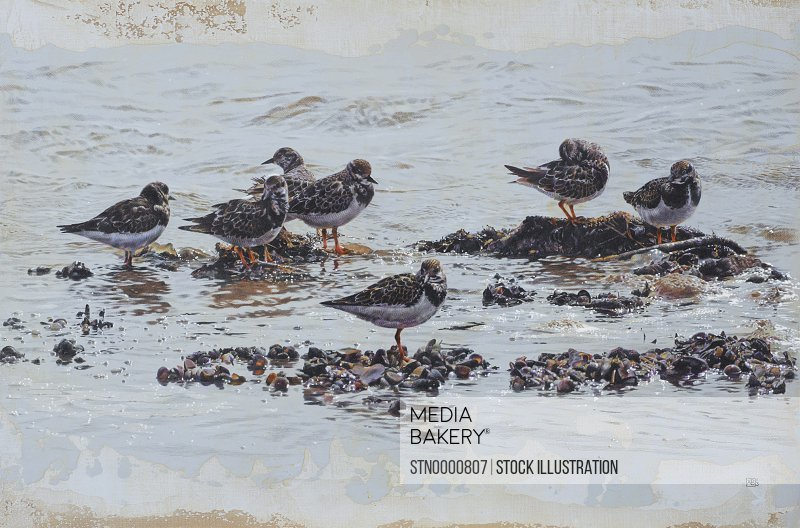 Turnstones on beach