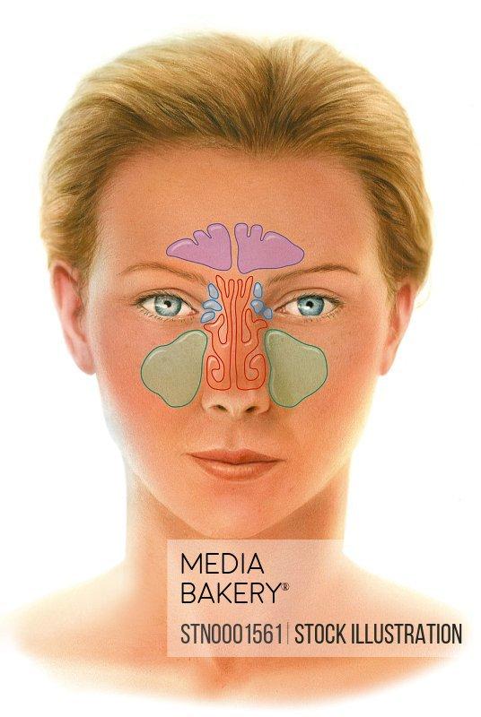 Human sinus