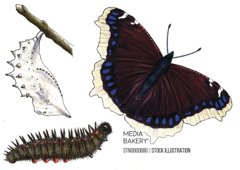 Cocoon, caterpillar and butterfly