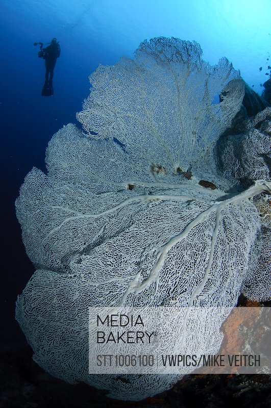 Gorgonian Sea Fan And Diver Silhouette Banda Indonesia
