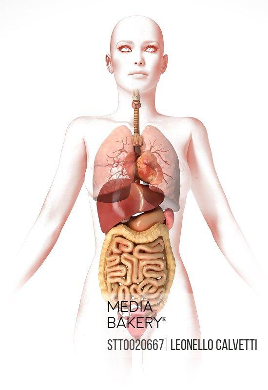 Mediabakery Photo By Stocktrek Images Anatomy Of Female Body