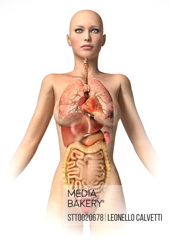 Mediabakery - Photo by StockTrek Images - Anatomy of female body ...