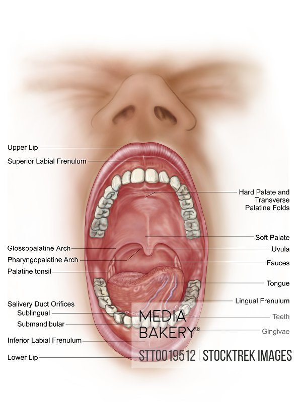 Mediabakery Photo By Stocktrek Images Anatomy Of Human Mouth Cavity