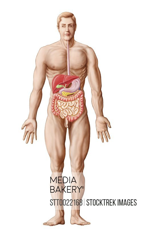 Mediabakery Photo By Stocktrek Images Anatomy Of Human Digestive