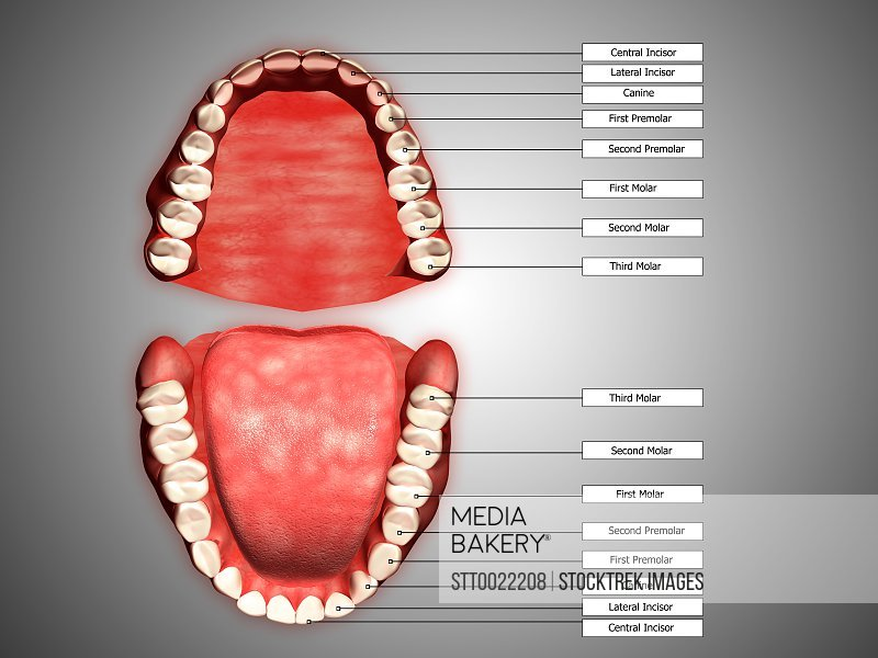 Mediabakery - Photo by StockTrek Images - Human teeth structure with ...