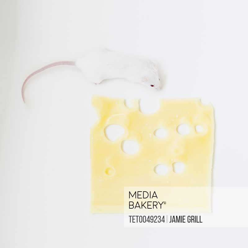 Studio shot of white mouse and slice of swiss cheese