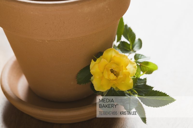 Studio shot of yellow rose and flower pot