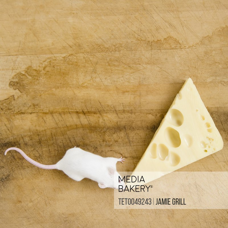 Studio shot of white mouse and slice of cheese