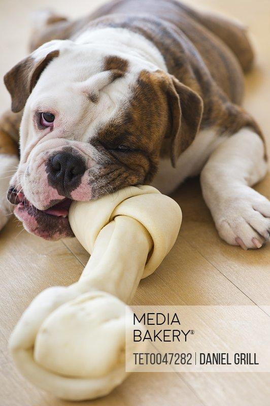 Cute bulldog pup biting bone