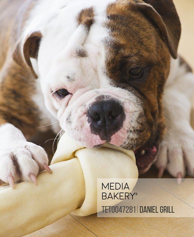Cute bulldog pup licking bone
