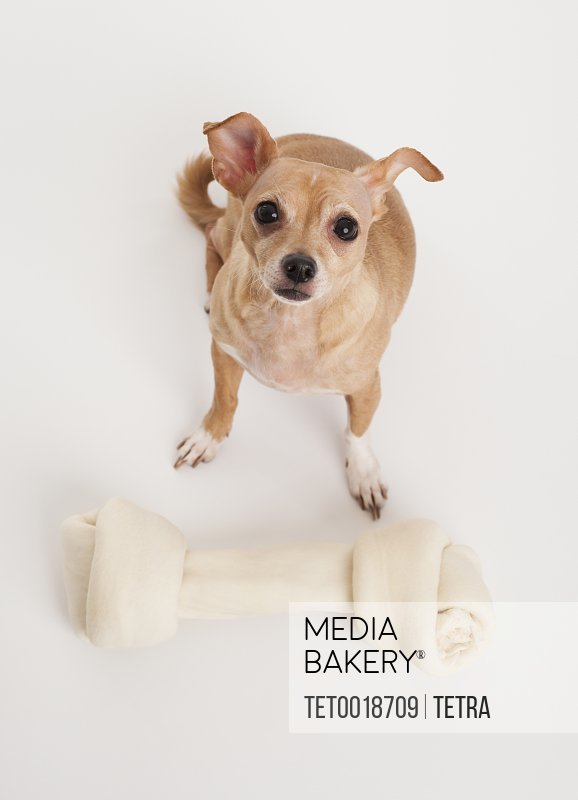 Small dog with big bone