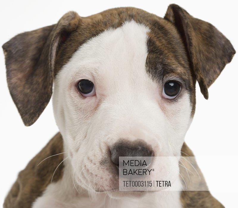 Portrait of a pitbull puppy