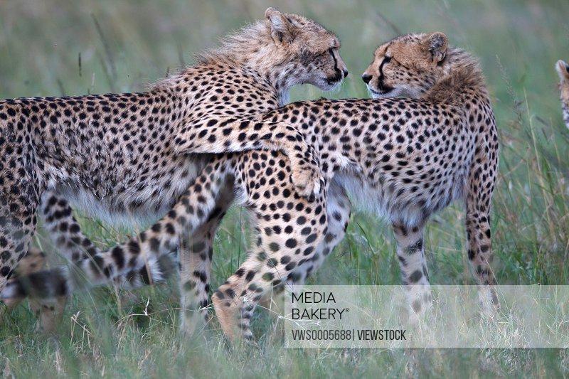 Leopards in savannah field Kenya Africa