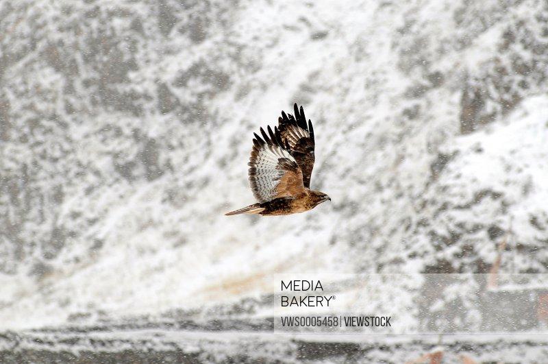 Steppe eagle close-up