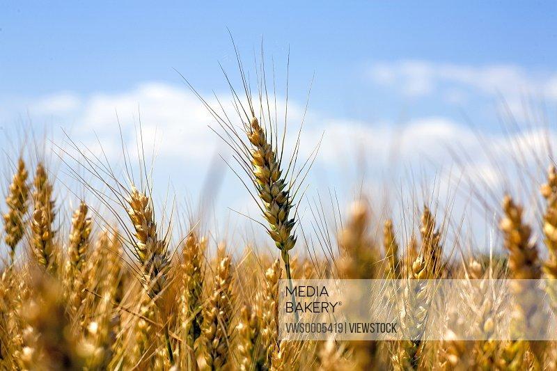Wheat in field