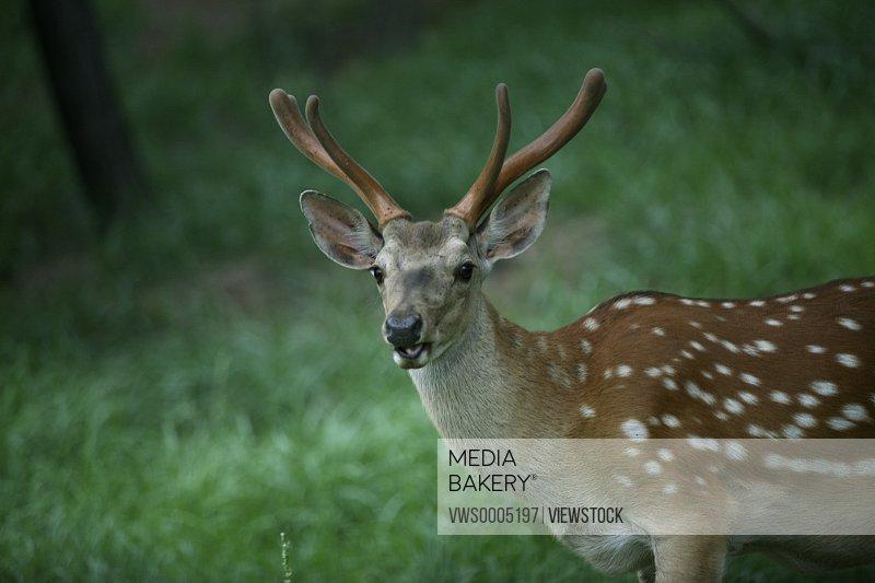 Sika Deer China