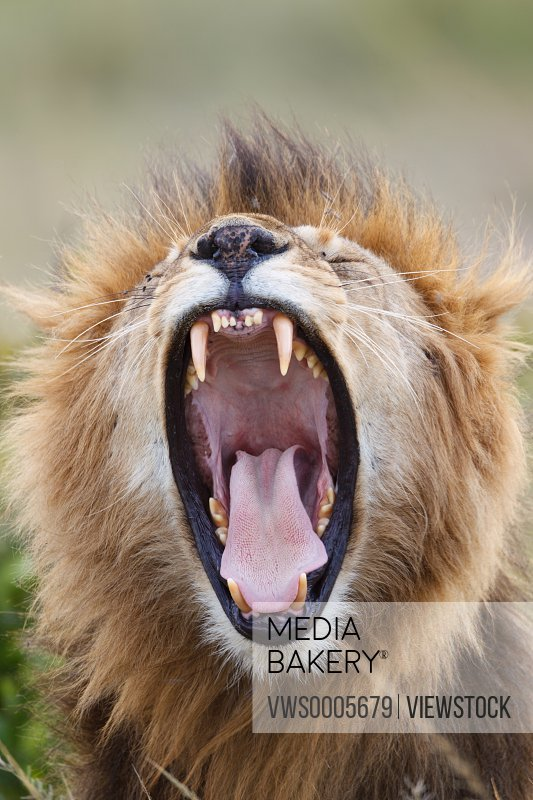 Lion Kenya Africa
