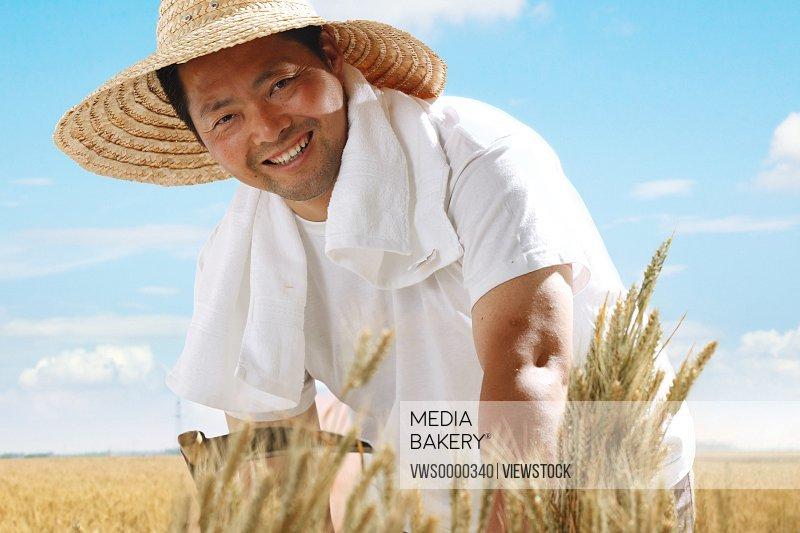 Farmer harvest wheat with sickle