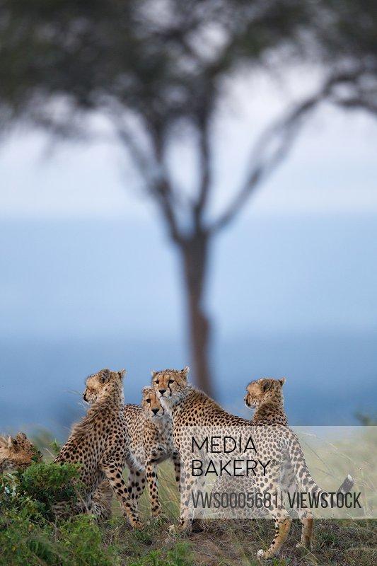 Leopard in savannah field Kenya Africa