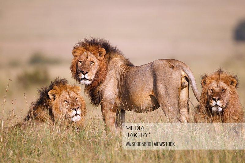 Lions sitting in savannah field Kenya Africa