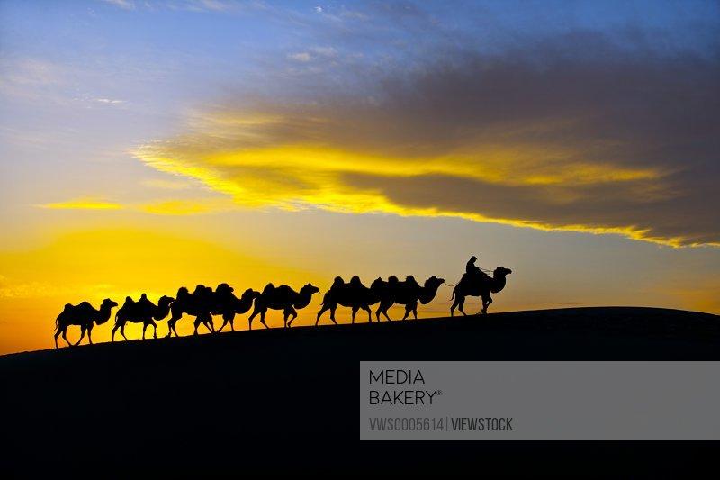 Camels in desert Inner Mongolia China
