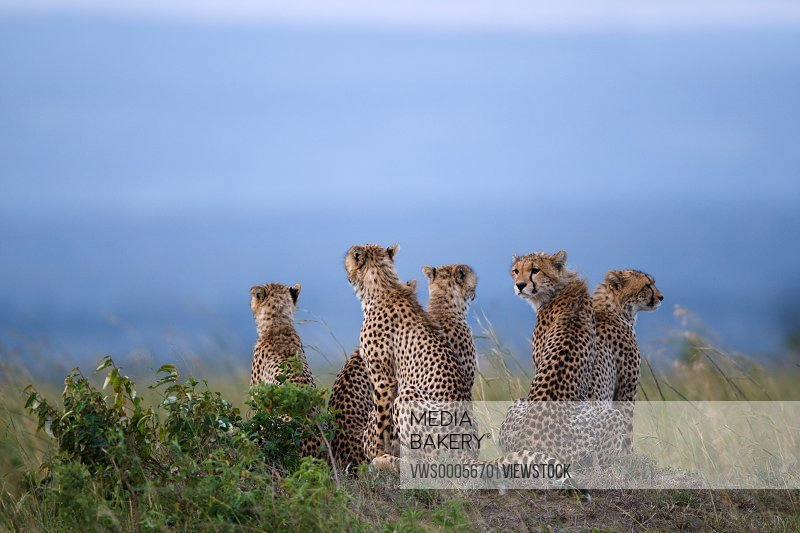 Leopard sitting in savannah field Kenya Africa