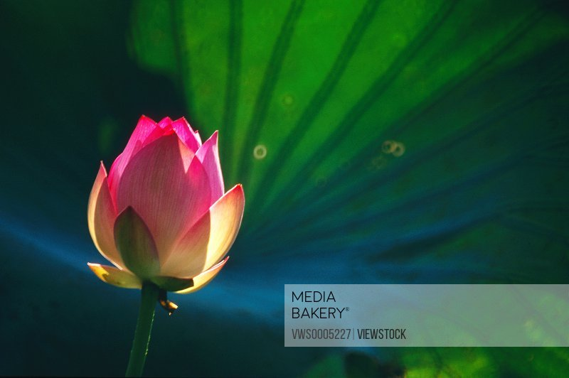 Close-up of a lotus China