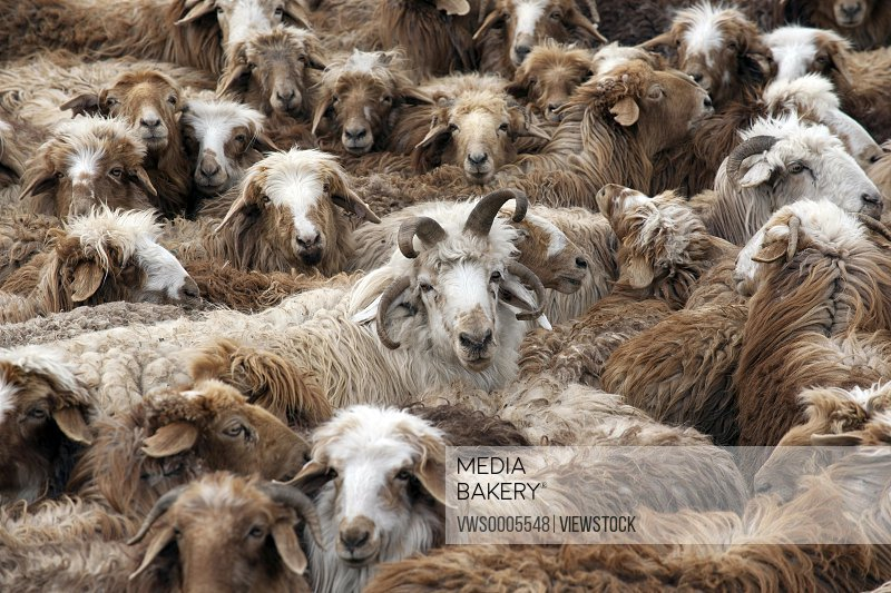Herds of sheep