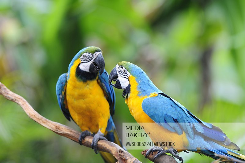 Two parrots togetherness close-up