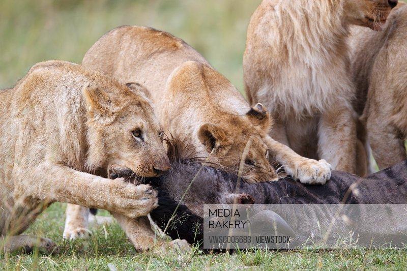 Lions in Kenya Africa