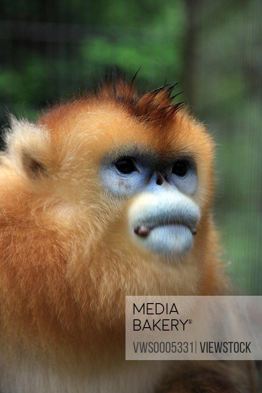 Golden monkey close-up