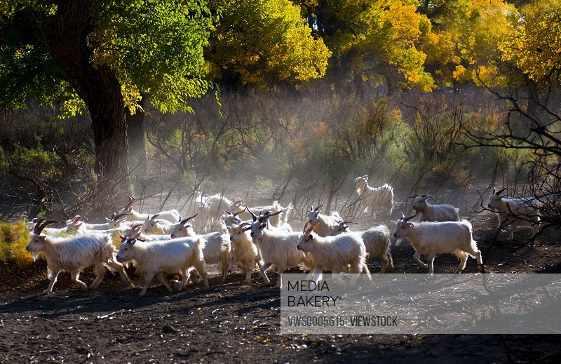 Herd of sheep Inner Mongolia China