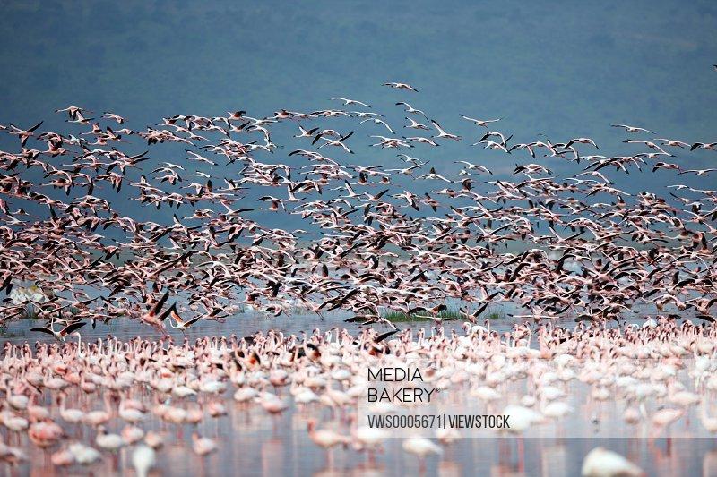 Flamingoes in shallow water Kenya Africa
