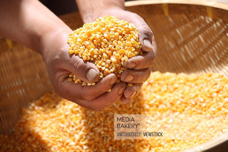 Hands holding corns