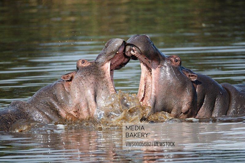 Hippos Kenya Africa