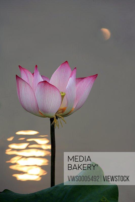 lotus water lily close-up