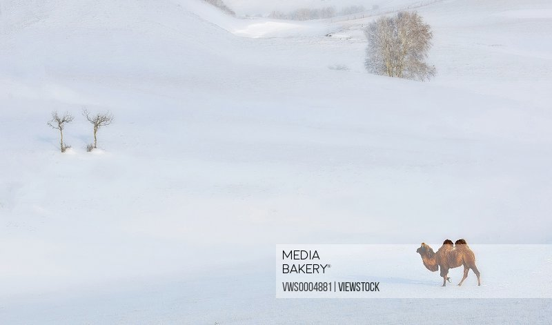 A camel on the Inner Mongolia dam