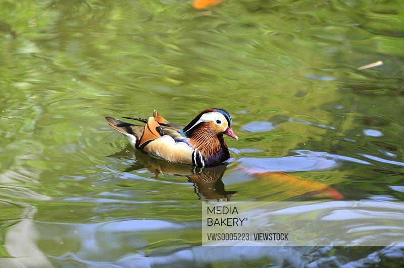 Mandarin Duck in river China