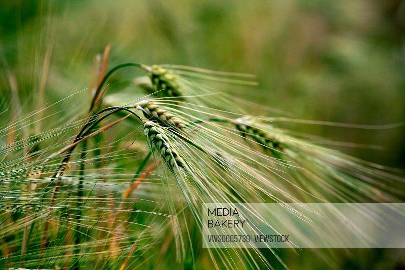 highland barley