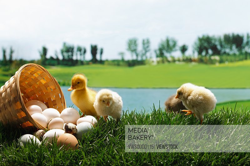Fellow chicks and ducks standing by a basket of eggs on lawn