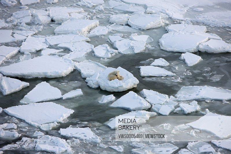Polar bear in North Pole close-up