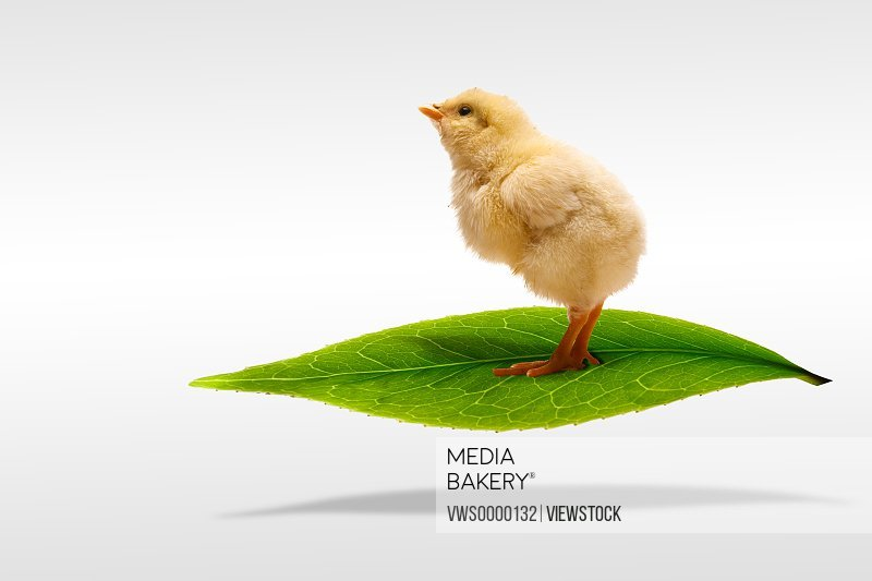 Digital composite of Fellow chick and greenn leaf
