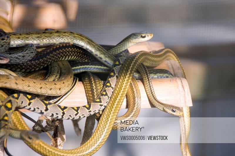 Snake in Hangzhou Qiandao Lake